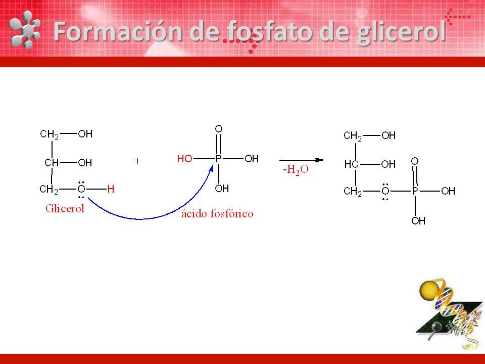 Formación de fosfato de glicerol