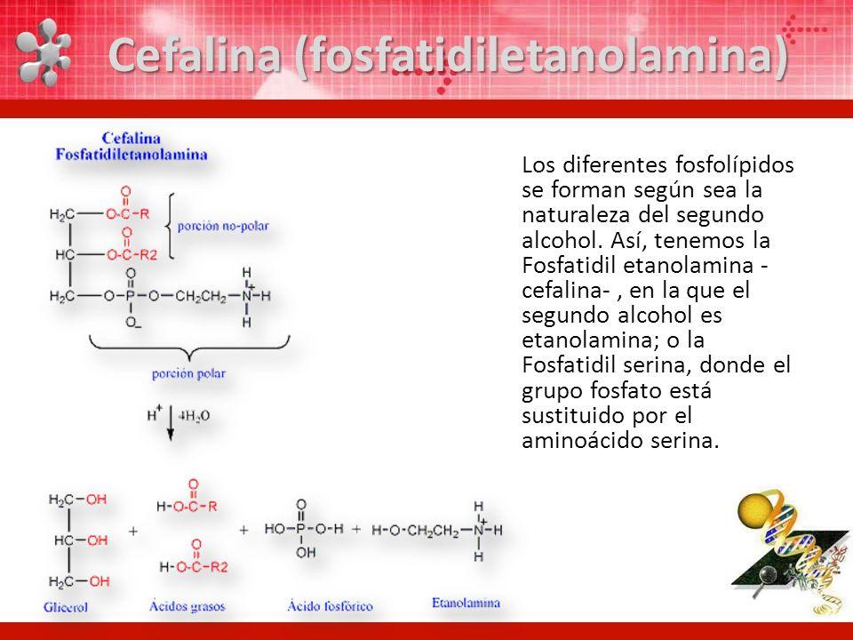Los diferentes fosfolípidos se forman según sea la naturaleza del segundo alcohol. Así, tenemos la Fosfatidil etanolamina - cefalina-, en la que el se