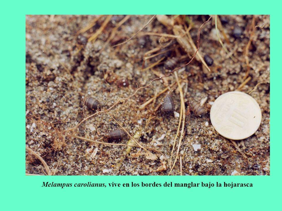 Melampus carolianus, vive en los bordes del manglar bajo la hojarasca