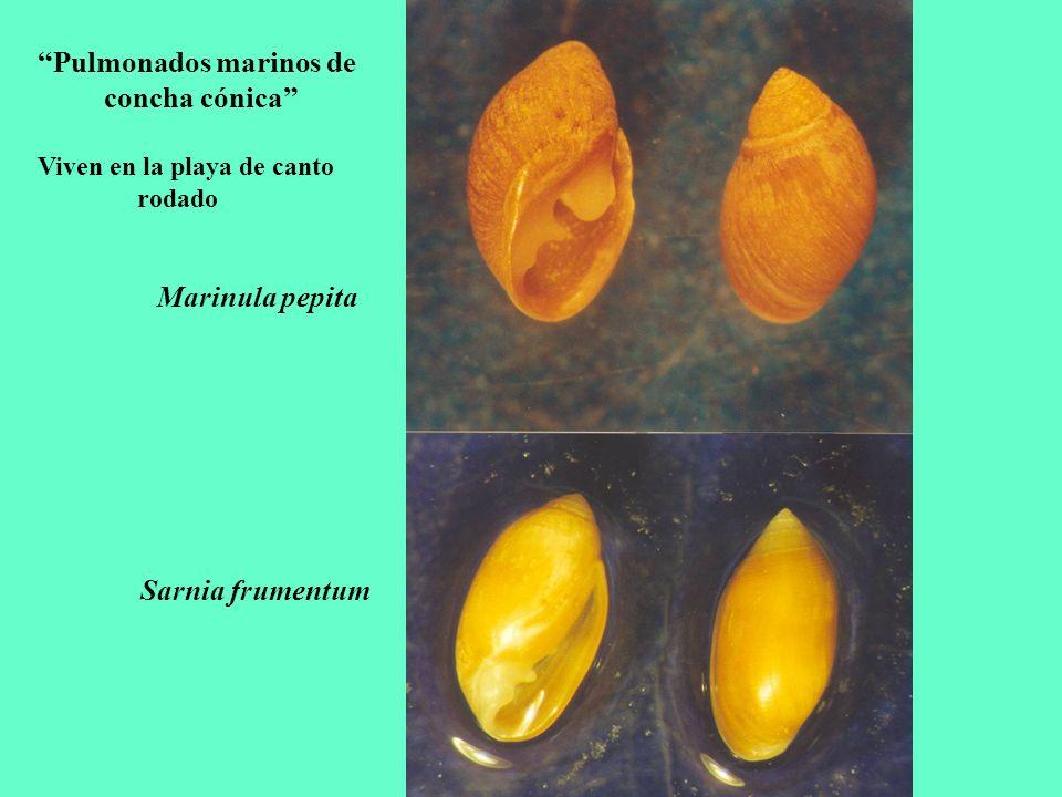 Pulmonados marinos de concha cónica Viven en la playa de canto rodado Marinula pepita Sarnia frumentum