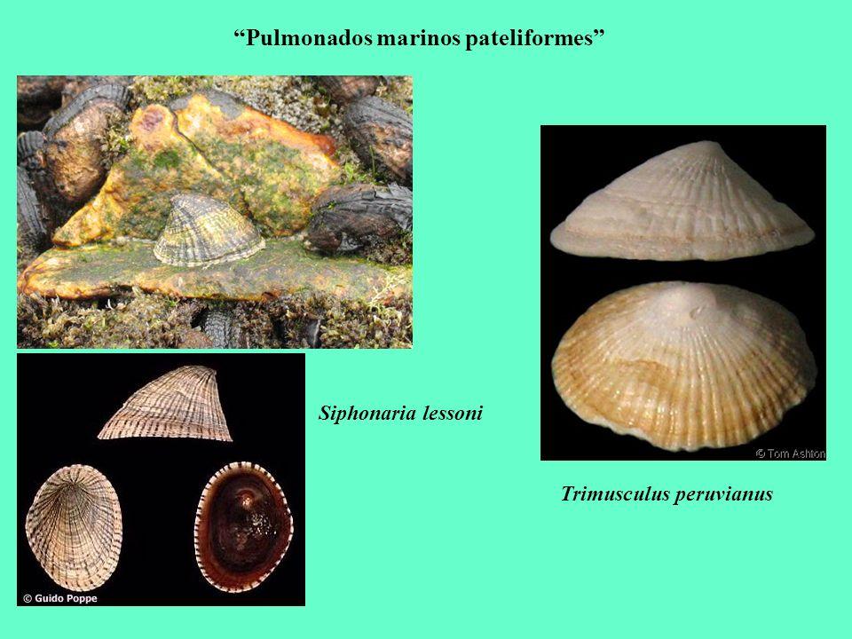 Pulmonados marinos pateliformes Siphonaria lessoni Trimusculus peruvianus