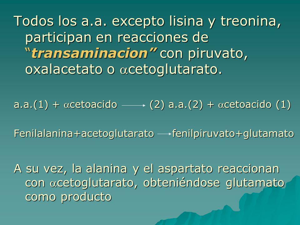 Todos los a.a. excepto lisina y treonina, participan en reacciones detransaminacion con piruvato, oxalacetato o cetoglutarato. a.a.(1) + cetoacido (2)