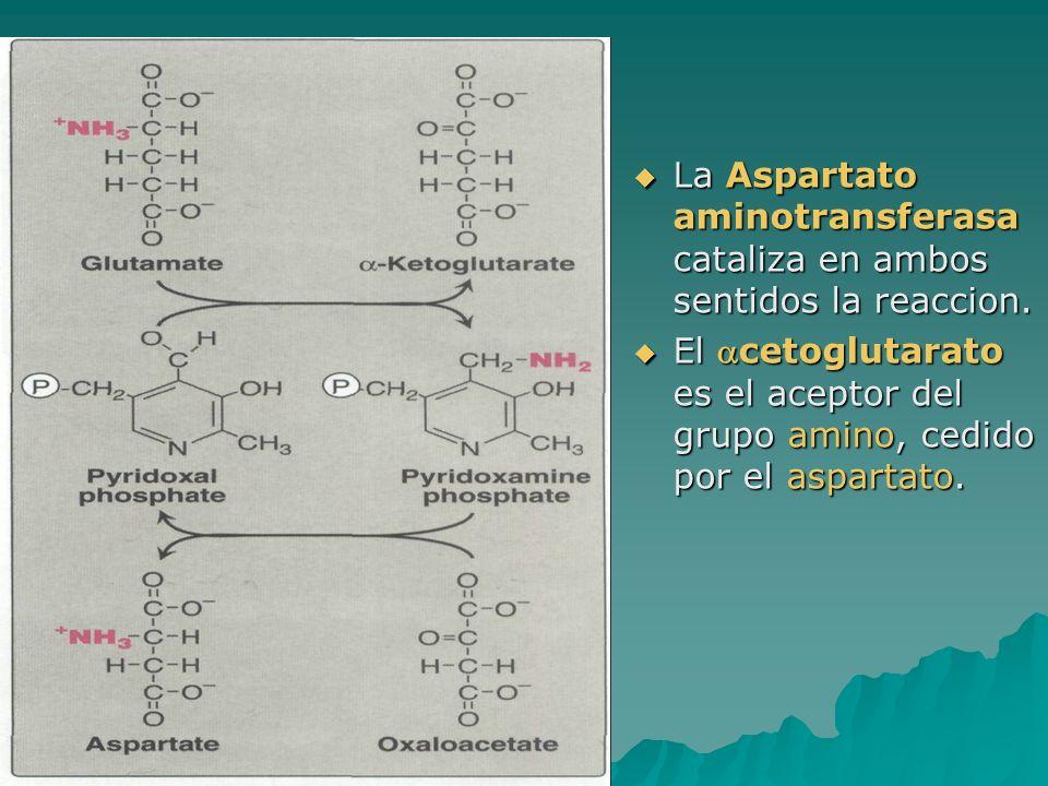 La Aspartato aminotransferasa cataliza en ambos sentidos la reaccion. La Aspartato aminotransferasa cataliza en ambos sentidos la reaccion. El cetoglu