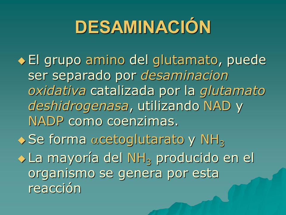 DESAMINACIÓN El grupo amino del glutamato, puede ser separado por desaminacion oxidativa catalizada por la glutamato deshidrogenasa, utilizando NAD y