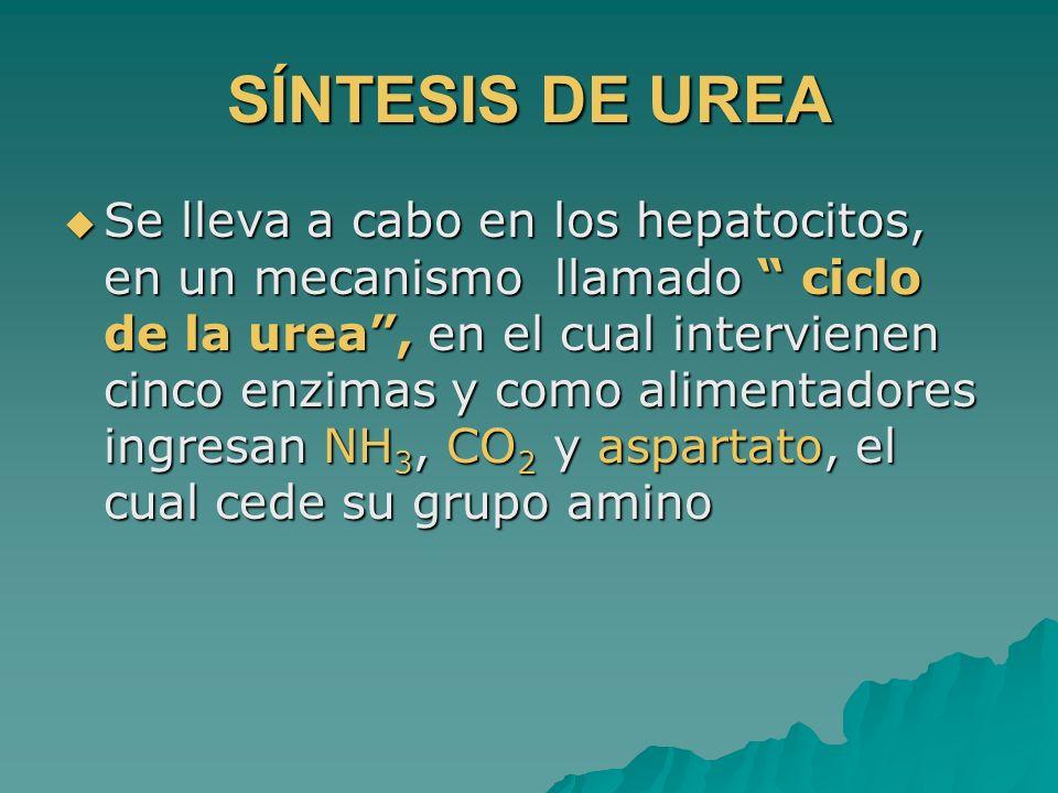 SÍNTESIS DE UREA Se lleva a cabo en los hepatocitos, en un mecanismo llamado ciclo de la urea, en el cual intervienen cinco enzimas y como alimentador