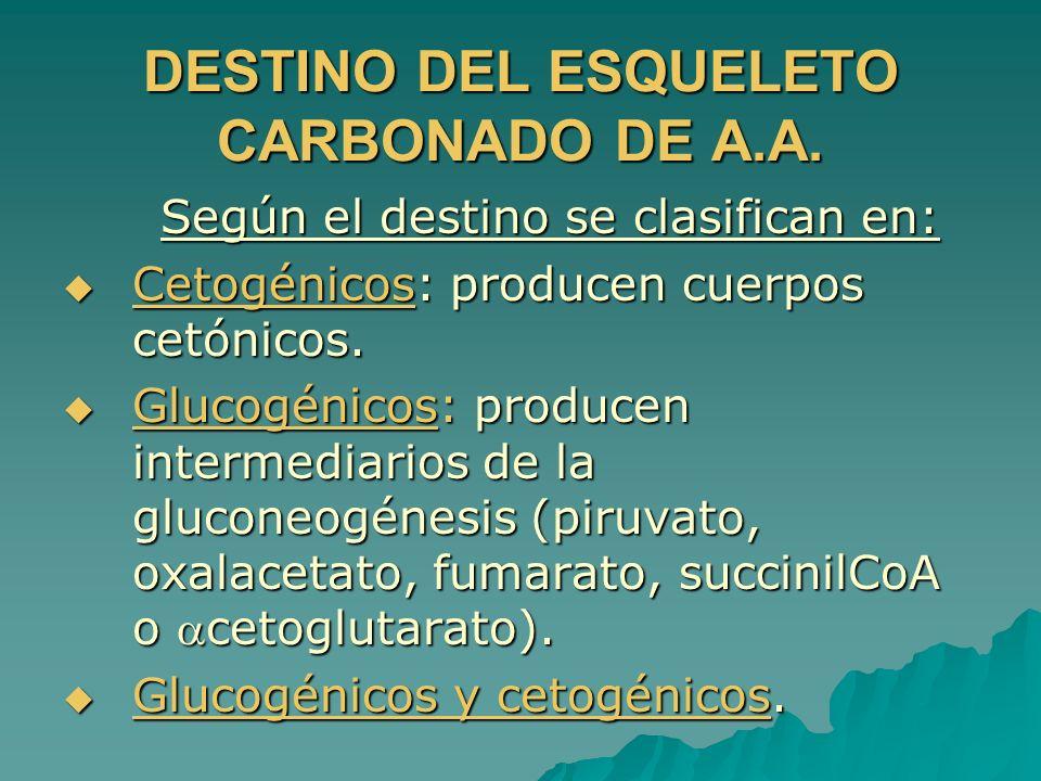 DESTINO DEL ESQUELETO CARBONADO DE A.A. Según el destino se clasifican en: Según el destino se clasifican en: Cetogénicos: producen cuerpos cetónicos.