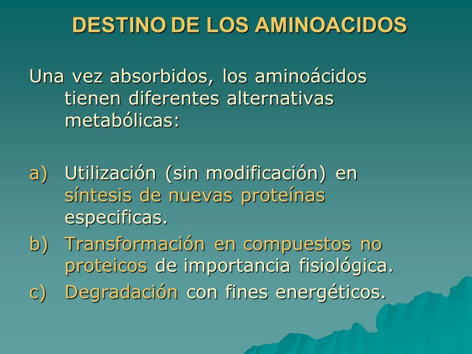 DESTINO DE LOS AMINOACIDOS Una vez absorbidos, los aminoácidos tienen diferentes alternativas metabólicas: a)Utilización (sin modificación) en síntesi