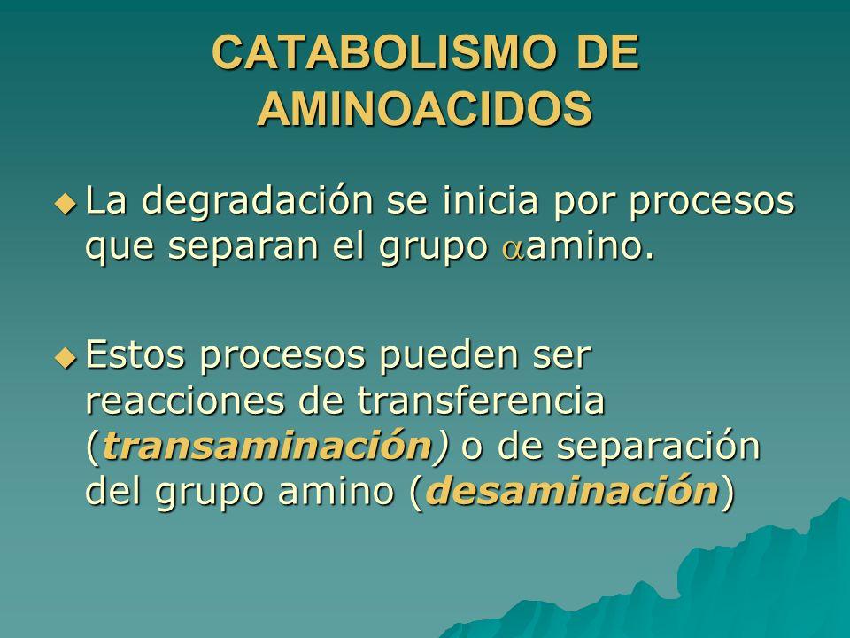 CATABOLISMO DE AMINOACIDOS La degradación se inicia por procesos que separan el grupo amino. La degradación se inicia por procesos que separan el grup