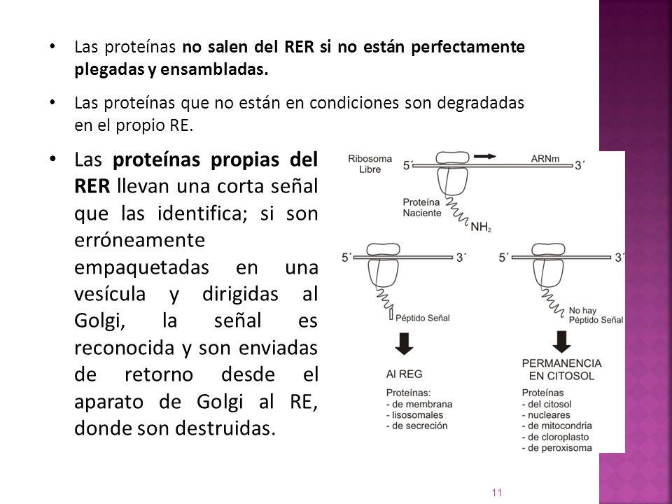 Las proteínas no salen del RER si no están perfectamente plegadas y ensambladas. Las proteínas que no están en condiciones son degradadas en el propio