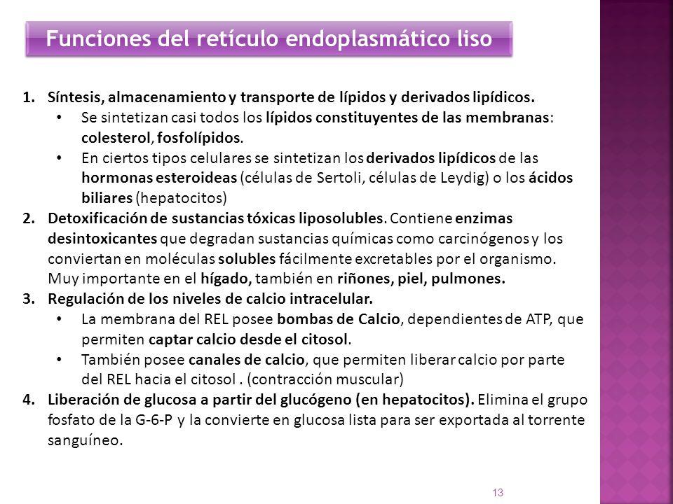 1.Síntesis, almacenamiento y transporte de lípidos y derivados lipídicos. Se sintetizan casi todos los lípidos constituyentes de las membranas: colest
