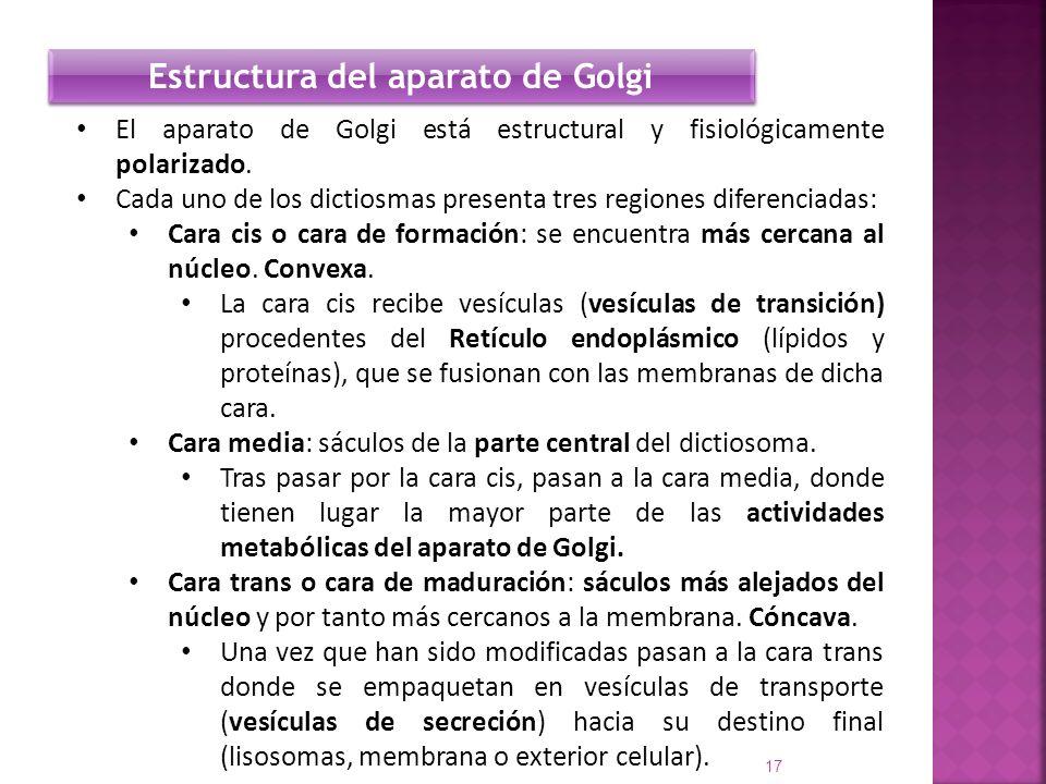 El aparato de Golgi está estructural y fisiológicamente polarizado. Cada uno de los dictiosmas presenta tres regiones diferenciadas: Cara cis o cara d