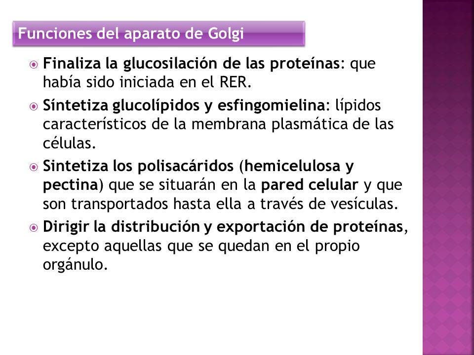 Finaliza la glucosilación de las proteínas: que había sido iniciada en el RER. Síntetiza glucolípidos y esfingomielina: lípidos característicos de la