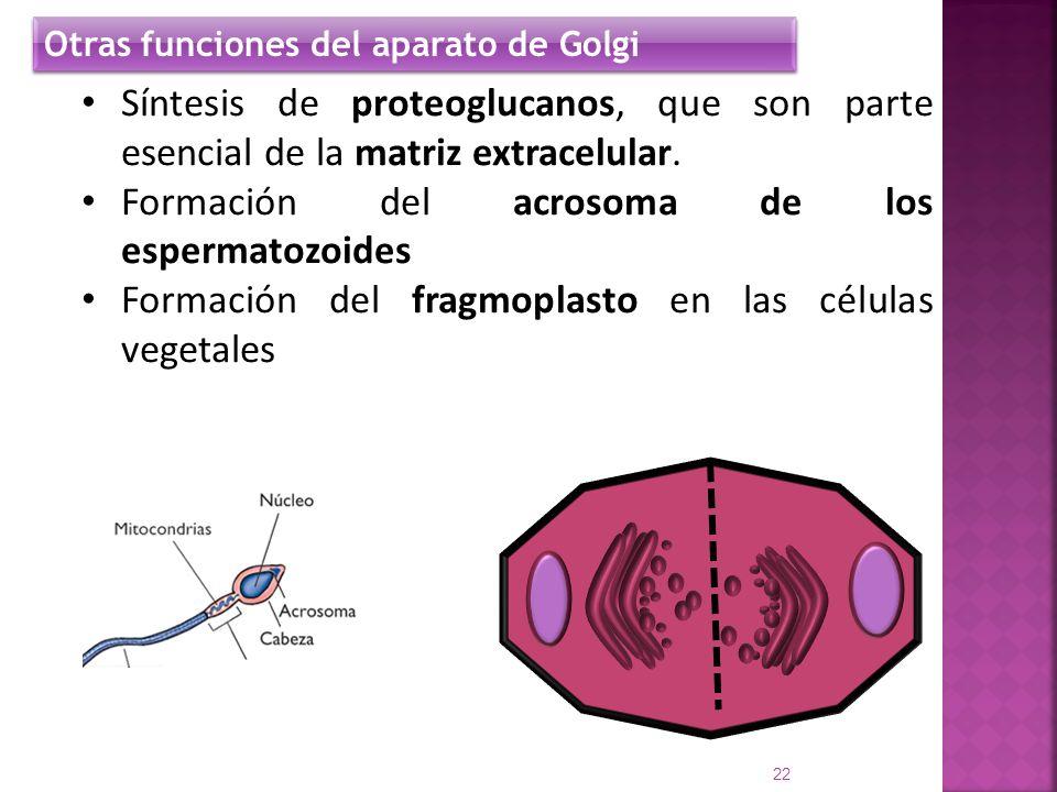 Síntesis de proteoglucanos, que son parte esencial de la matriz extracelular. Formación del acrosoma de los espermatozoides Formación del fragmoplasto
