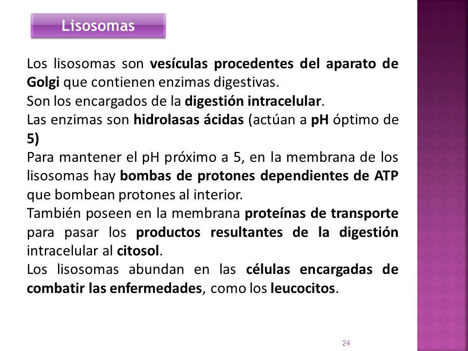 Los lisosomas son vesículas procedentes del aparato de Golgi que contienen enzimas digestivas. Son los encargados de la digestión intracelular. Las en