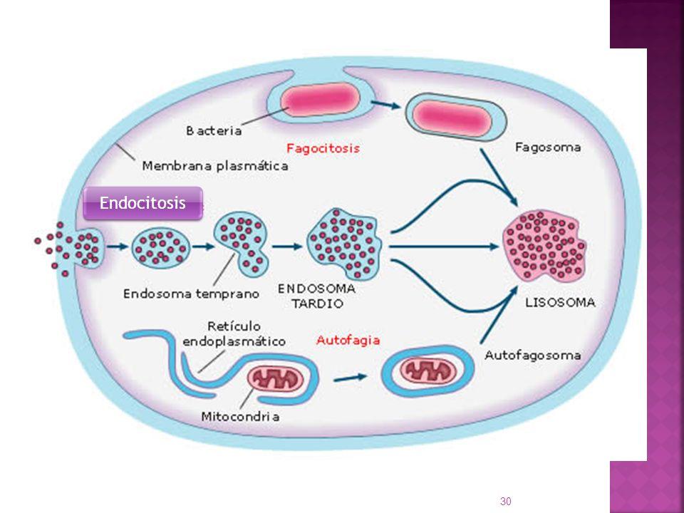 30 Endocitosis
