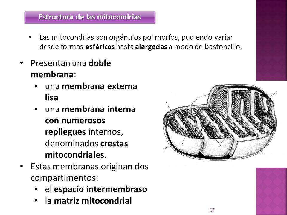 Las mitocondrias son orgánulos polimorfos, pudiendo variar desde formas esféricas hasta alargadas a modo de bastoncillo. 37 Estructura de las mitocond
