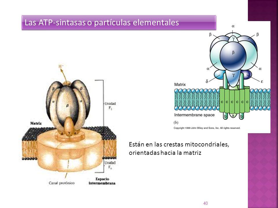 40 Las ATP-sintasas o partículas elementales Están en las crestas mitocondriales, orientadas hacia la matriz