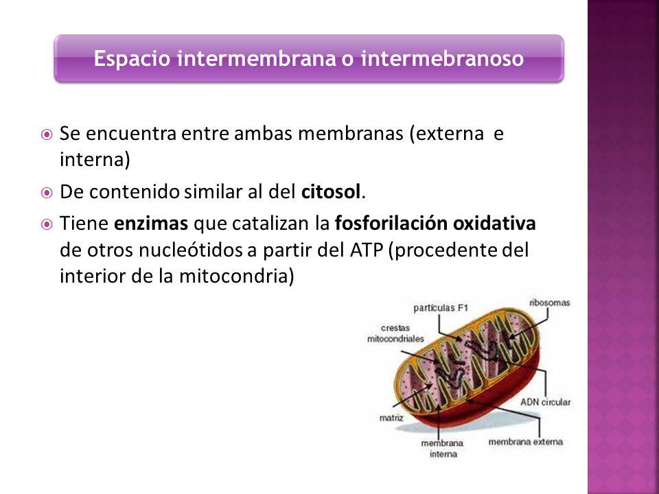 Se encuentra entre ambas membranas (externa e interna) De contenido similar al del citosol. Tiene enzimas que catalizan la fosforilación oxidativa de
