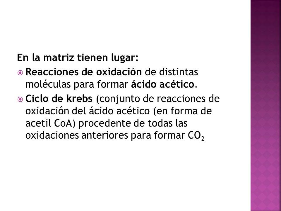 En la matriz tienen lugar: Reacciones de oxidación de distintas moléculas para formar ácido acético. Ciclo de krebs (conjunto de reacciones de oxidaci