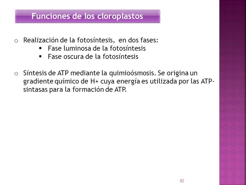 o Realización de la fotosíntesis, en dos fases: Fase luminosa de la fotosíntesis Fase oscura de la fotosíntesis o Síntesis de ATP mediante la quimioós