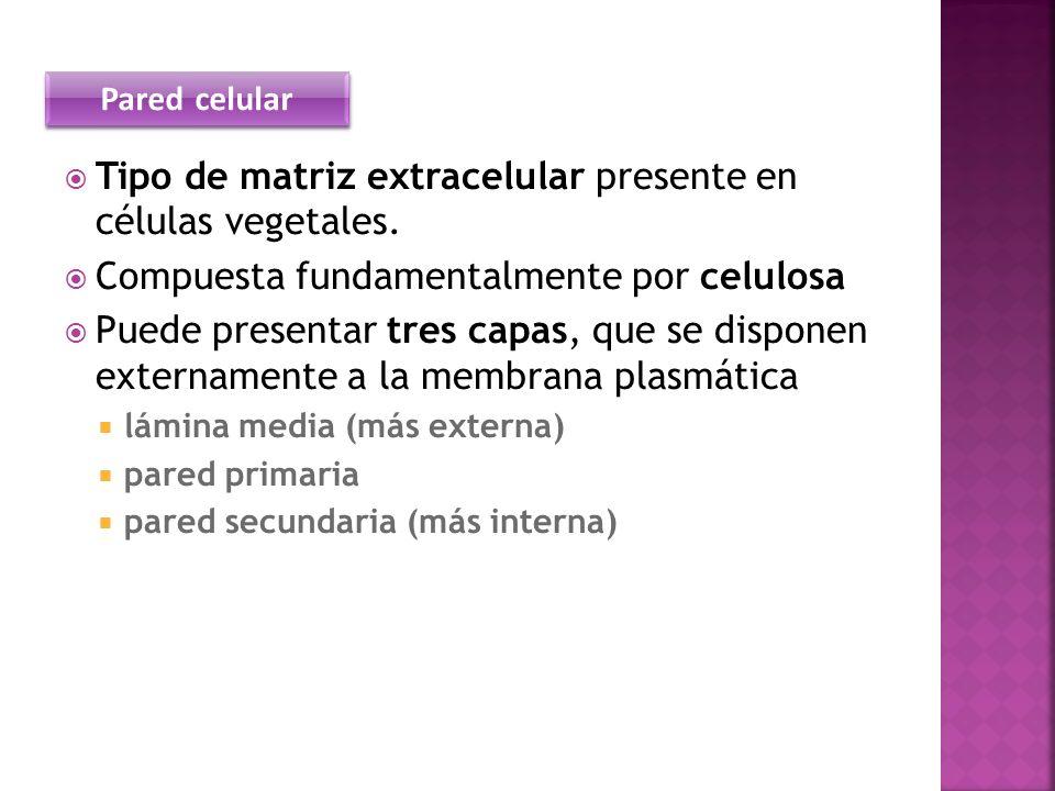 Tipo de matriz extracelular presente en células vegetales. Compuesta fundamentalmente por celulosa Puede presentar tres capas, que se disponen externa