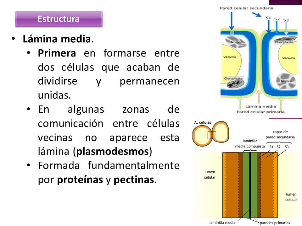 Estructura Lámina media. Primera en formarse entre dos células que acaban de dividirse y permanecen unidas. En algunas zonas de comunicación entre cél