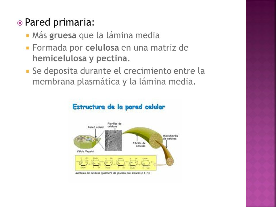 Pared primaria: Más gruesa que la lámina media Formada por celulosa en una matriz de hemicelulosa y pectina. Se deposita durante el crecimiento entre