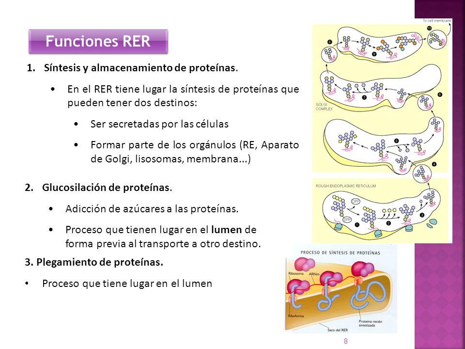 8 1.Síntesis y almacenamiento de proteínas. En el RER tiene lugar la síntesis de proteínas que pueden tener dos destinos: Ser secretadas por las célul