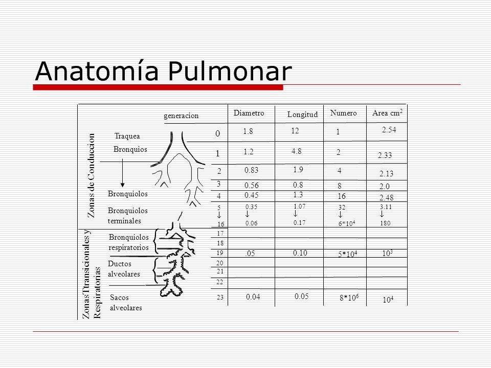Anatomía Pulmonar Zonas de Conduccion generacion Traquea Bronquios Bronquiolos terminales Bronquiolos respiratorios Ductos alveolares Sacos alveolares