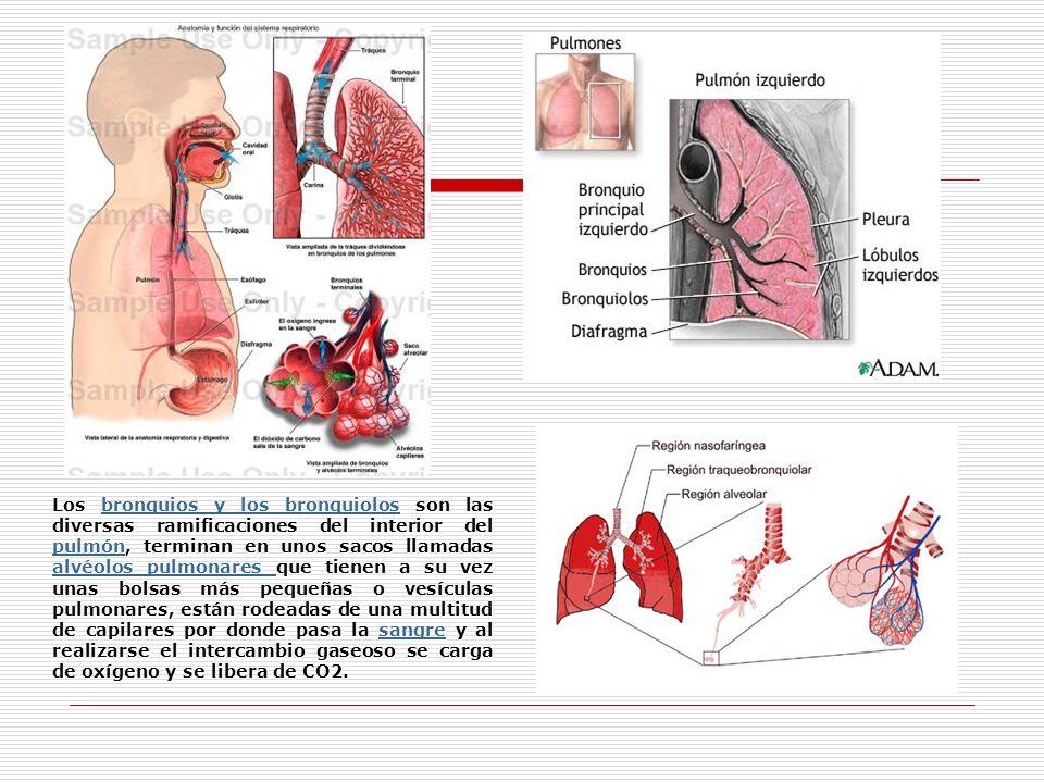 Los bronquios y los bronquiolos son las diversas ramificaciones del interior del pulmón, terminan en unos sacos llamadas alvéolos pulmonares que tiene