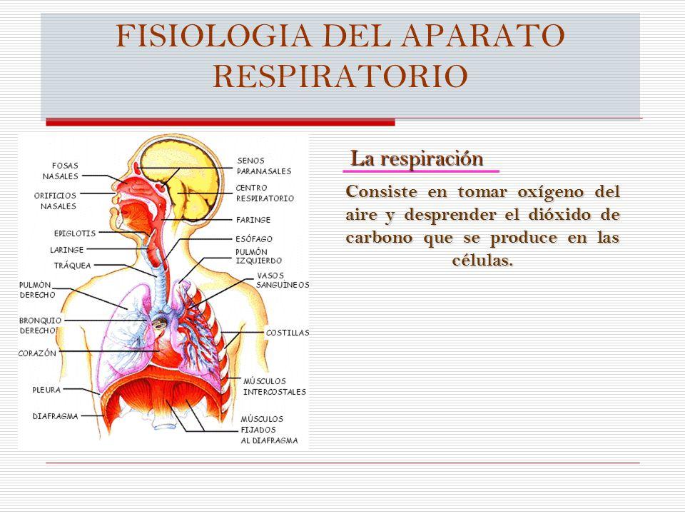 FISIOLOGIA DEL APARATO RESPIRATORIO La respiración Consiste en tomar oxígeno del aire y desprender el dióxido de carbono que se produce en las células