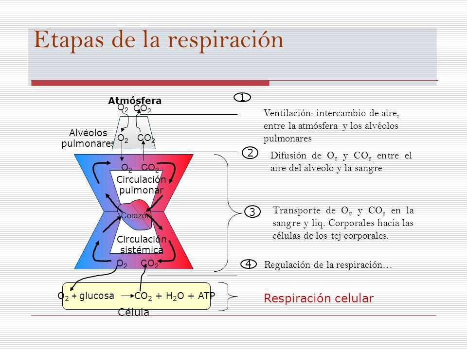 Etapas de la respiración Alvéolos pulmonares Atmósfera O2O2 CO 2 O2O2 Corazón O2O2 CO 2 O2O2 O 2 + glucosa CO 2 + H 2 O + ATP Célula Circulación sisté