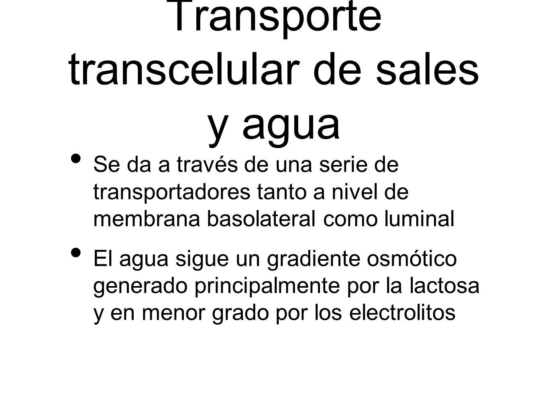 Transporte transcelular de sales y agua Se da a través de una serie de transportadores tanto a nivel de membrana basolateral como luminal El agua sigu