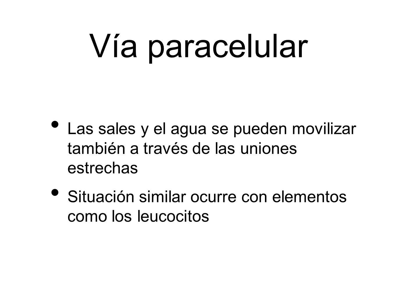 Vía paracelular Las sales y el agua se pueden movilizar también a través de las uniones estrechas Situación similar ocurre con elementos como los leuc