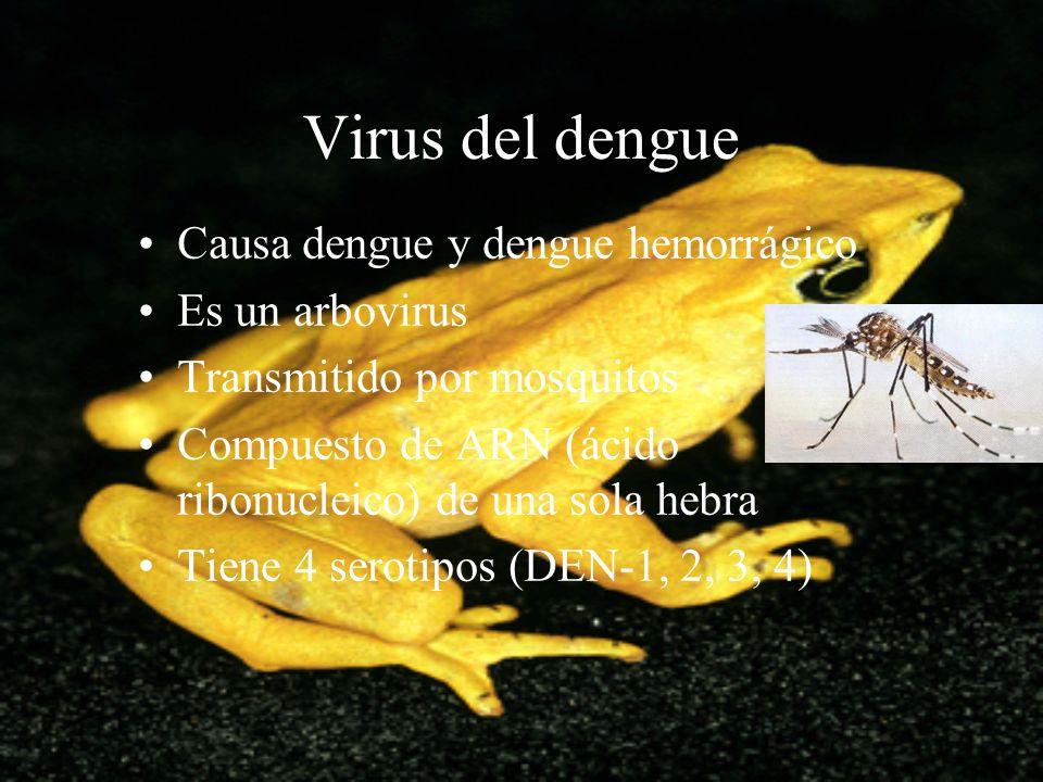 Virus del dengue Causa dengue y dengue hemorrágico Es un arbovirus Transmitido por mosquitos Compuesto de ARN (ácido ribonucleico) de una sola hebra T