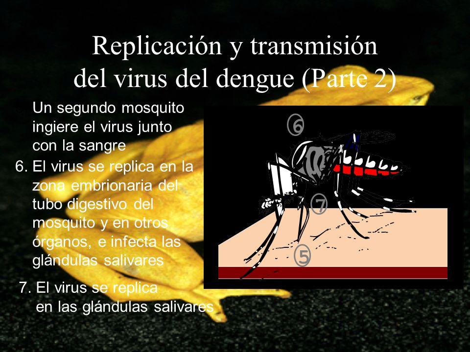 Replicación y transmisión del virus del dengue (Parte 2) 5. Un segundo mosquito ingiere el virus junto con la sangre 6. El virus se replica en la zona