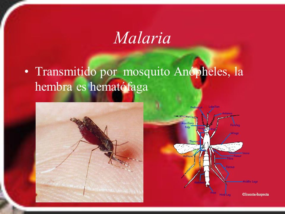 Malaria Transmitido por mosquito Anópheles, la hembra es hematófaga