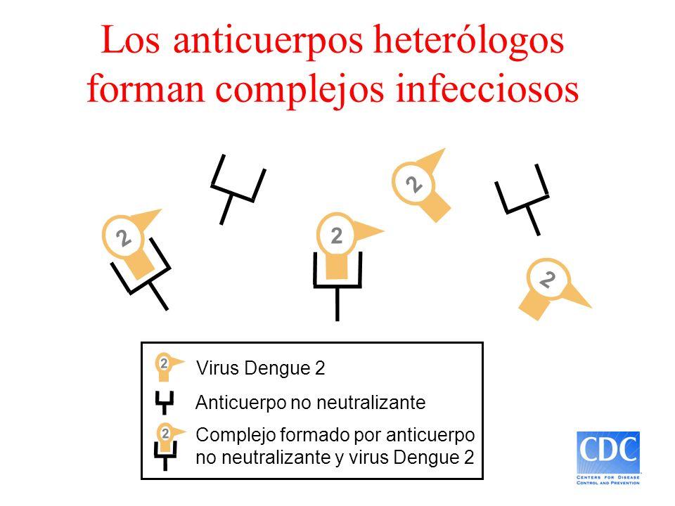Los anticuerpos heterólogos forman complejos infecciosos Anticuerpo no neutralizante Virus Dengue 2 2 2 2 2 Complejo formado por anticuerpo no neutral