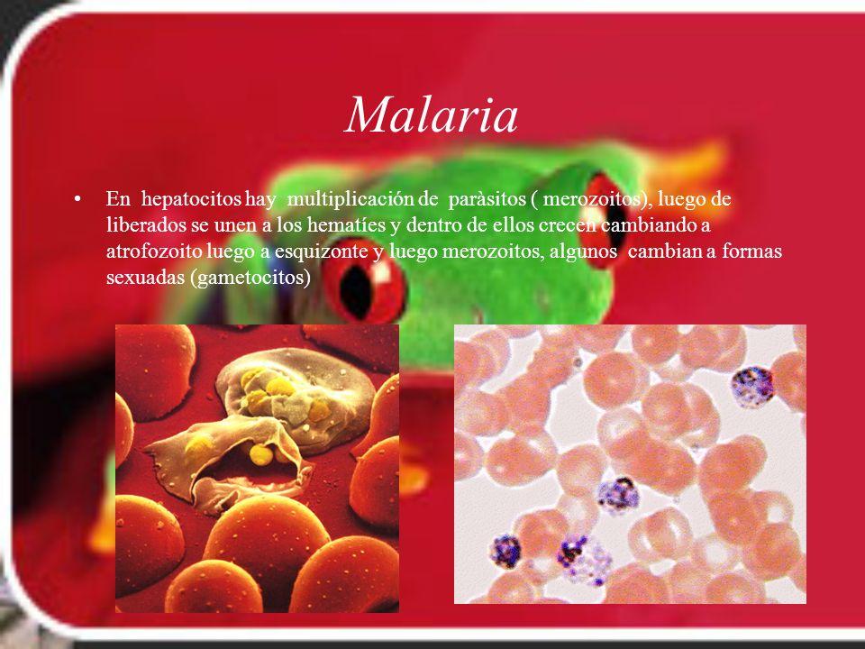 Malaria En hepatocitos hay multiplicación de paràsitos ( merozoitos), luego de liberados se unen a los hematíes y dentro de ellos crecen cambiando a a