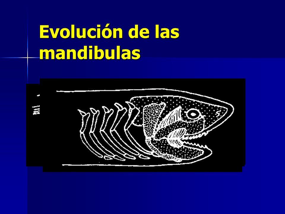 Evolución de la mandíbula Arco branquial superior Arco branquial inferior Mandibula Superior : cartílago palatocuadrado Mandibula Inferior: cartílago de Meckel