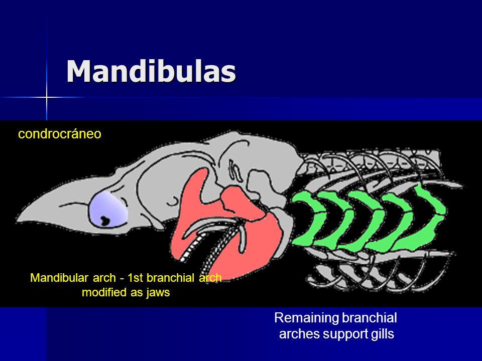 Jaws: 17 - palatoquadrate cartilage 11 - Meckles cartilage Hyoid Arch: 9 - hyomandibular 5 - ceratohyal Branchial Arches: 6 - epibranchials 6 - ceratobranchials