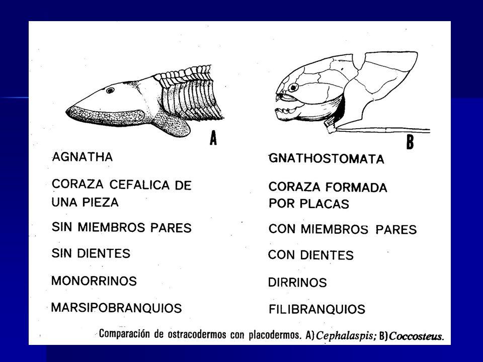 SUPERCLASE GNATHOSTOMATA Representantes fósiles: Espinosos y placodermos.