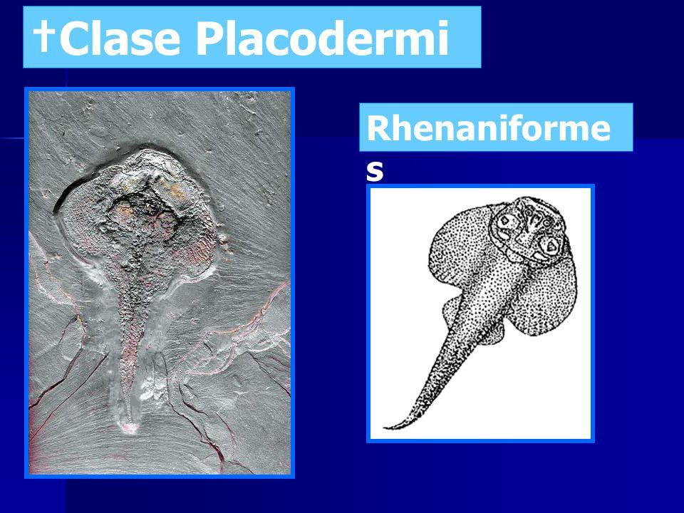 Clase Placodermi Antiarchiforme s