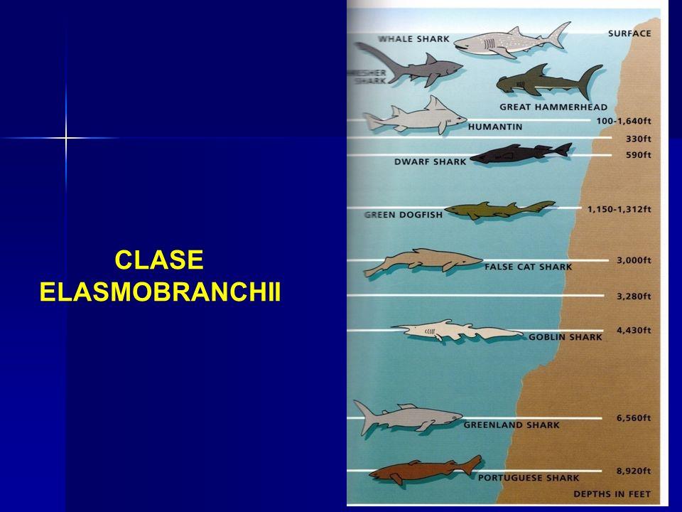 CLASE ELASMOBRANCHII