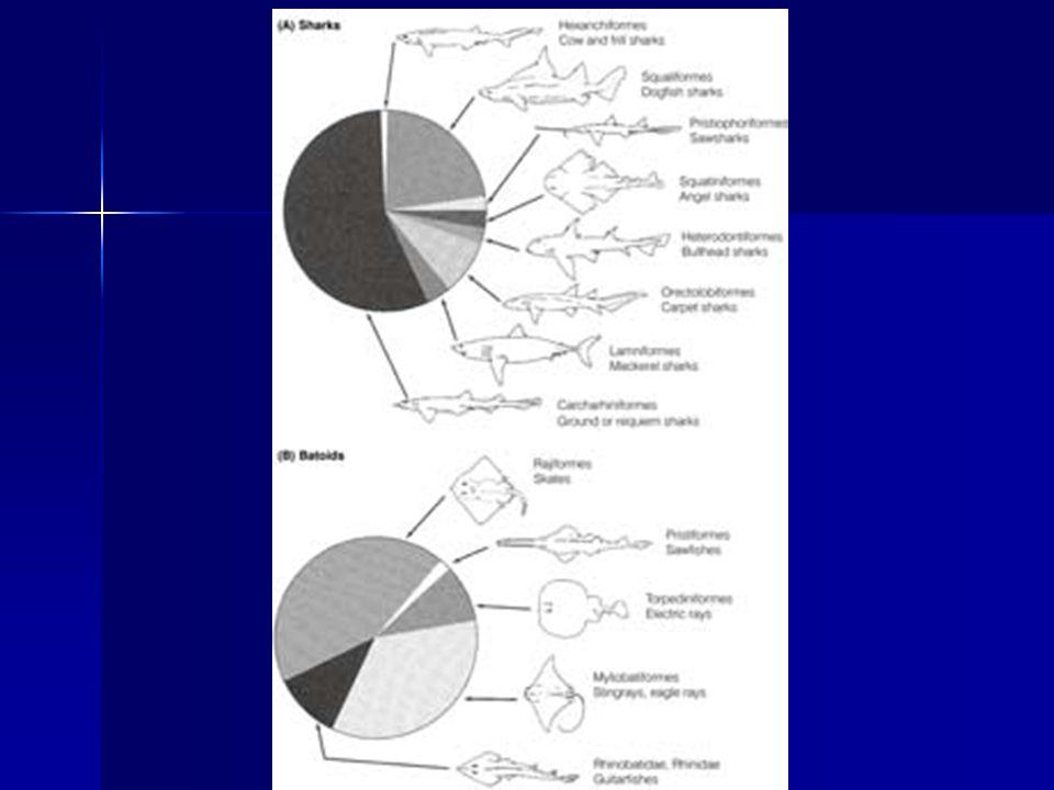 Los elasmobranquios difieren de los peces con espinas en las siguientes características: 1.Carecen de tejido óseo y el esqueleto está formado por cartílago que puede ser calcificado por endurecimiento y reducirse por flotabilidad.