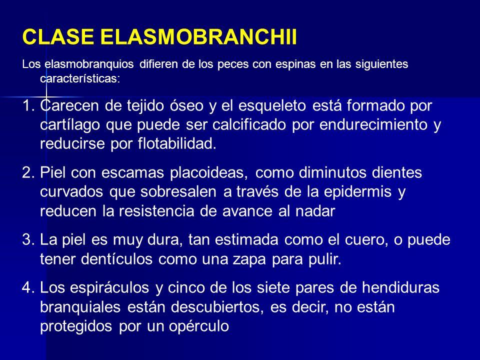 Los elasmobranquios difieren de los peces con espinas en las siguientes características: 1.Carecen de tejido óseo y el esqueleto está formado por cart