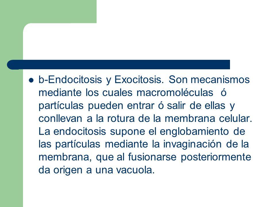 b-Endocitosis y Exocitosis. Son mecanismos mediante los cuales macromoléculas ó partículas pueden entrar ó salir de ellas y conllevan a la rotura de l