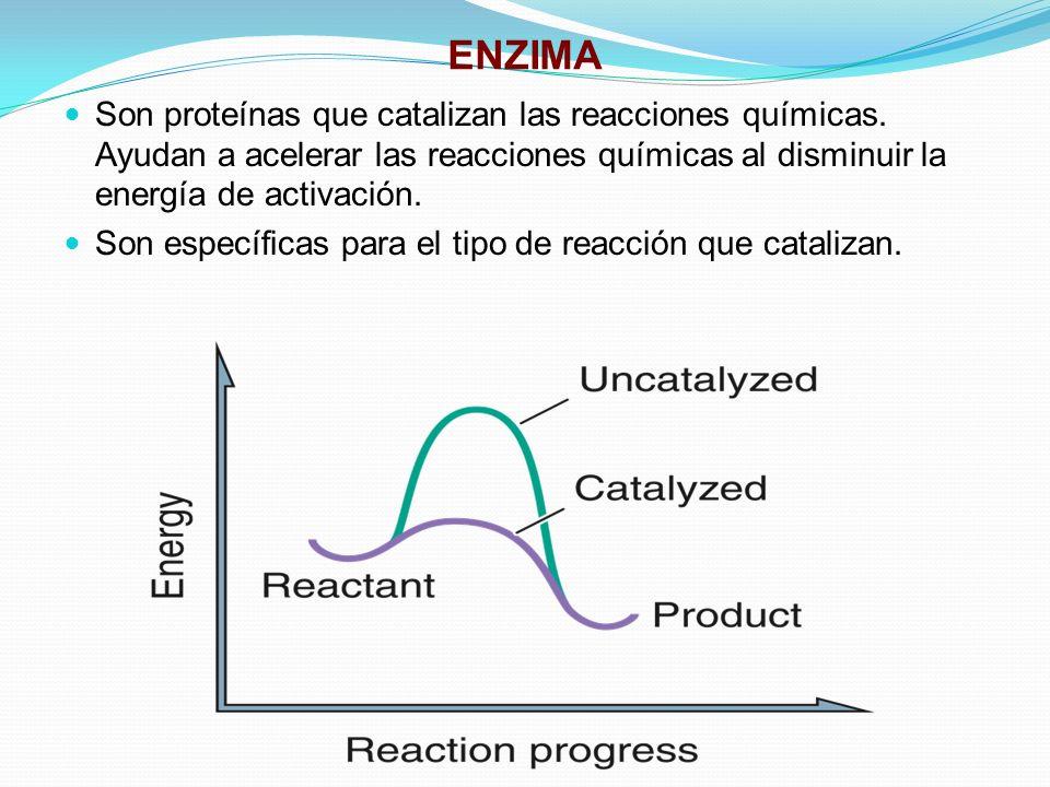 ENZIMA Son proteínas que catalizan las reacciones químicas. Ayudan a acelerar las reacciones químicas al disminuir la energía de activación. Son espec