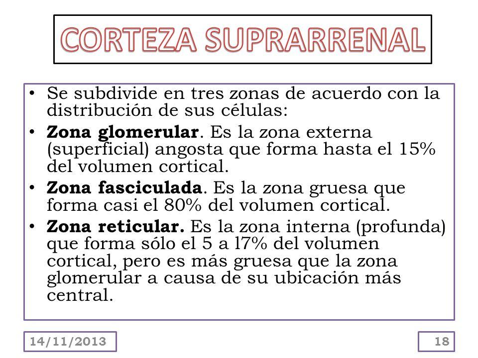 Se subdivide en tres zonas de acuerdo con la distribución de sus células: Zona glomerular. Es la zona externa (superficial) angosta que forma hasta el