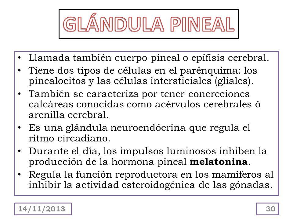 Llamada también cuerpo pineal o epífisis cerebral. Tiene dos tipos de células en el parénquima: los pinealocitos y las células intersticiales (gliales